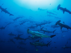 Cocos Island Scuba Diving in Costa Rica