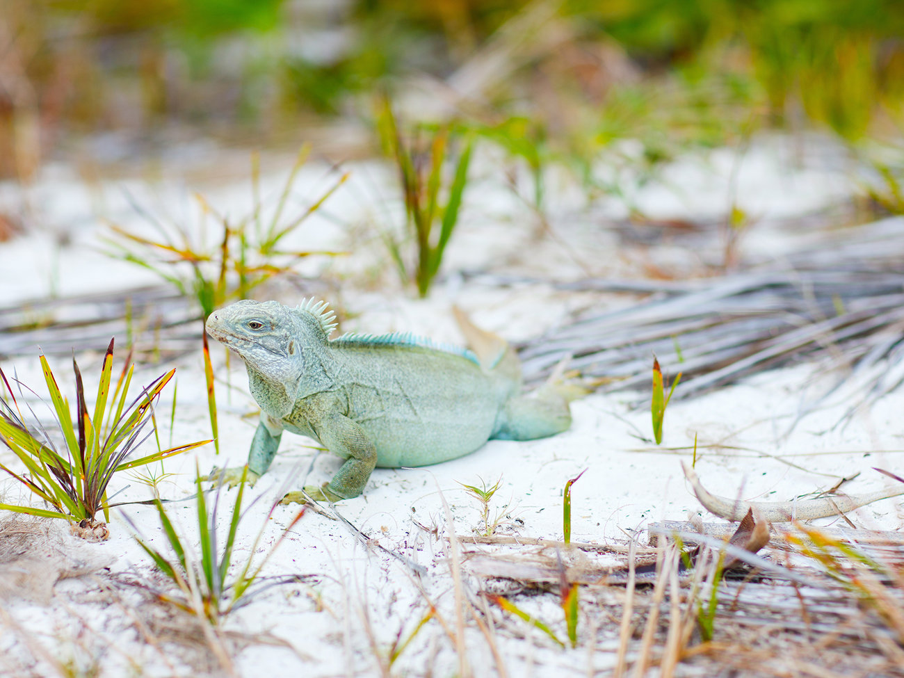 Little Water Cay Iguana Island in Turks and Caicos
