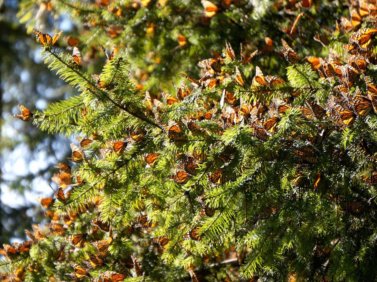 How To See Mexico S Famous Monarch Butterfly Migration