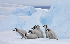 Antarctica, Antartic Peninsula, Snow Hill Island, Weddell Sea, Southern Ocean, Emperor Penguin (Aptenodytes forsteri) chicks huddle together for warmth