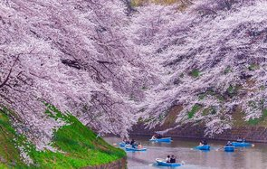 Japan cherry blossom forecast