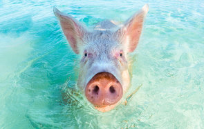Swimming pigs Bahamas