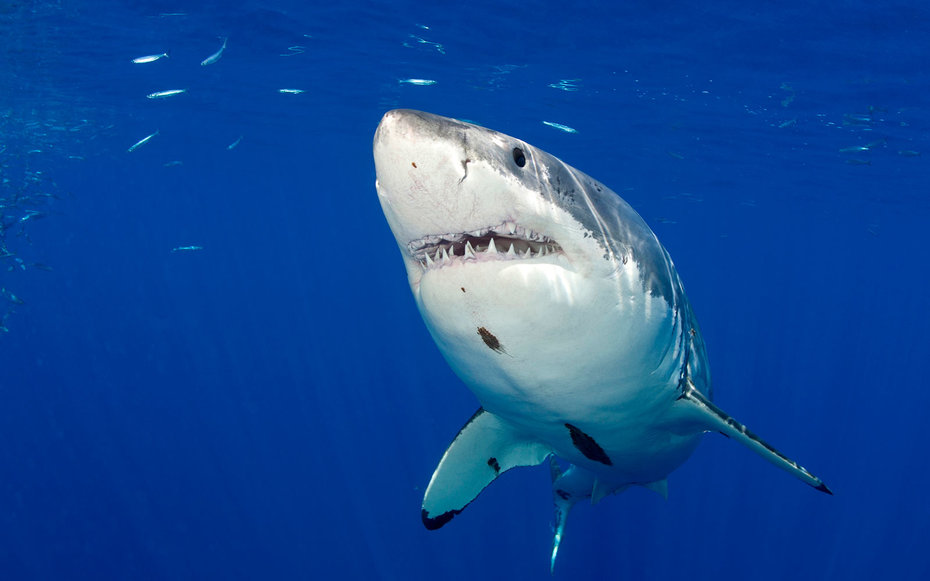 More great white sharks lurking off Cape Cod, data shows