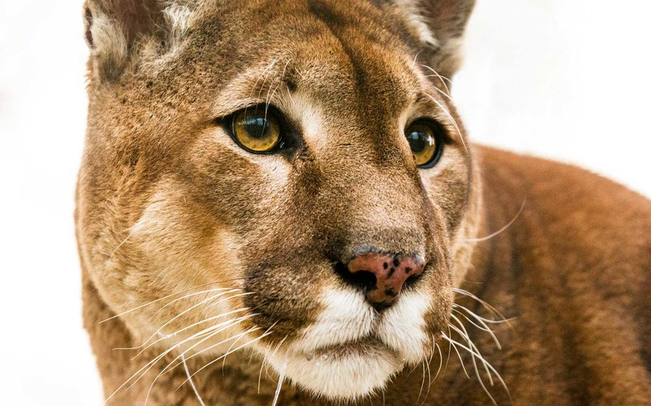 Mountain lion chasing a neighbor's cat ended up locking itself in this couple's bathroom