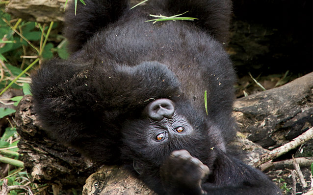 An orphaned mountain gorilla at the Senkwekwe Center