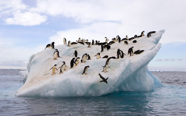 Adelie Penguins Endangered