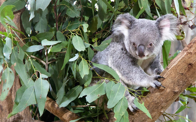 Koala Breaks Into House, Chills on the Couch