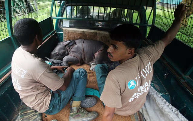 Baby Rhinos Rescued From Flood