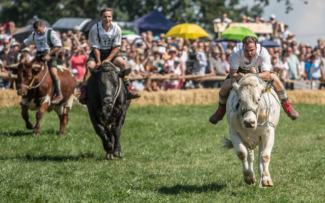 2016 Muensing Oxen Race In Bavaria