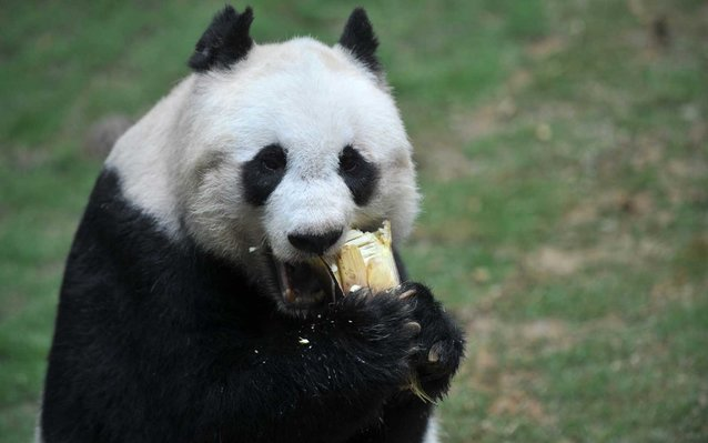 World's Oldest Panda Dies