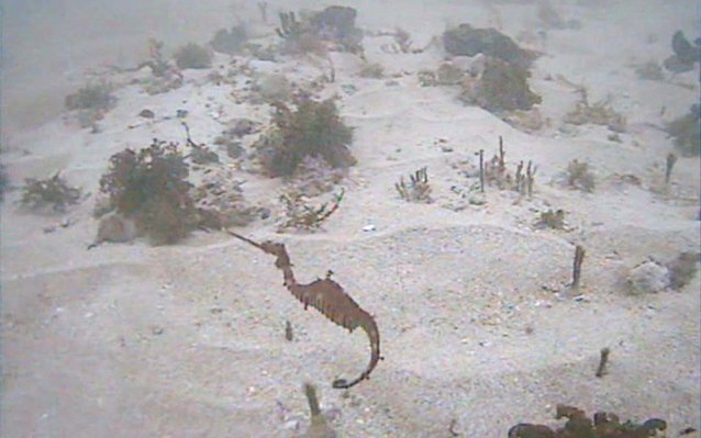 Ruby seadragon filmed alive for the first time
