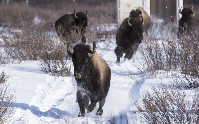 Bison Return to Banff