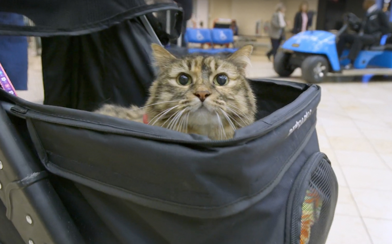 Meet Stitches, the first therapy cat at Minneapolis-St. Paul International Airport